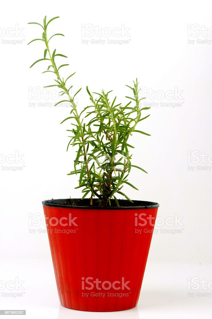 Rosemary in a pot stock photo