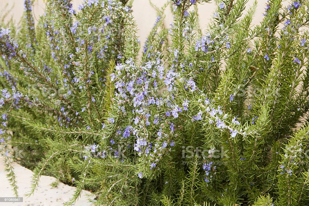 Rosemary In Bloom royalty-free stock photo
