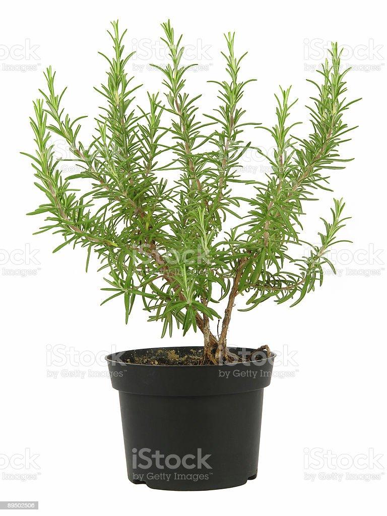 Rosemary in pot royalty-free stock photo
