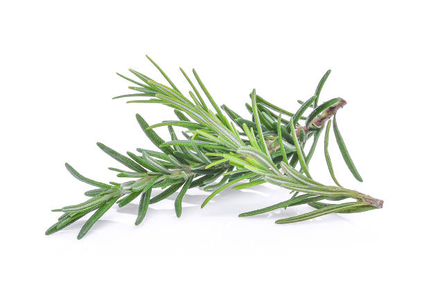 rosemary isolated on white bacground stock photo