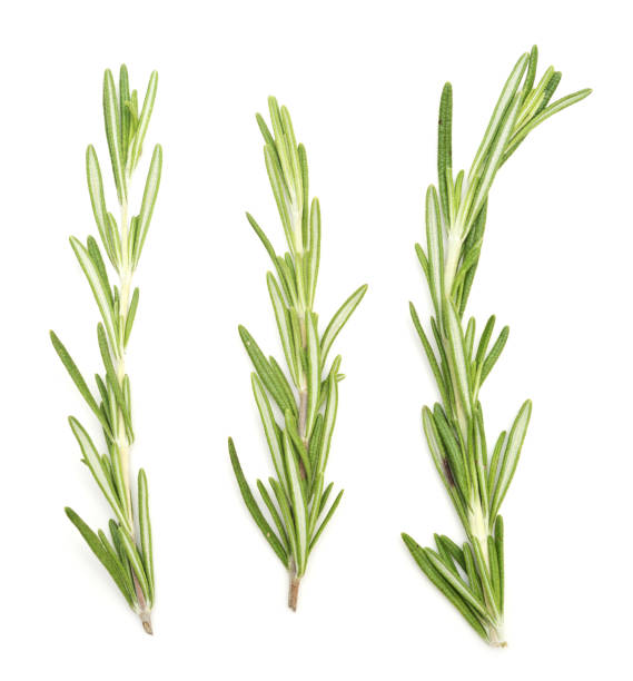 rosemary on white stock photo
