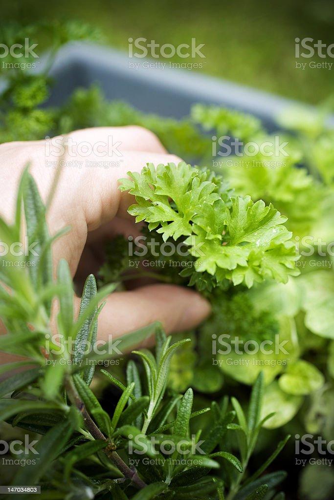 Rosemary, Parsley and Sage stock photo