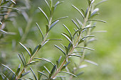 Close-up of kitchen herb rosemary in garden.