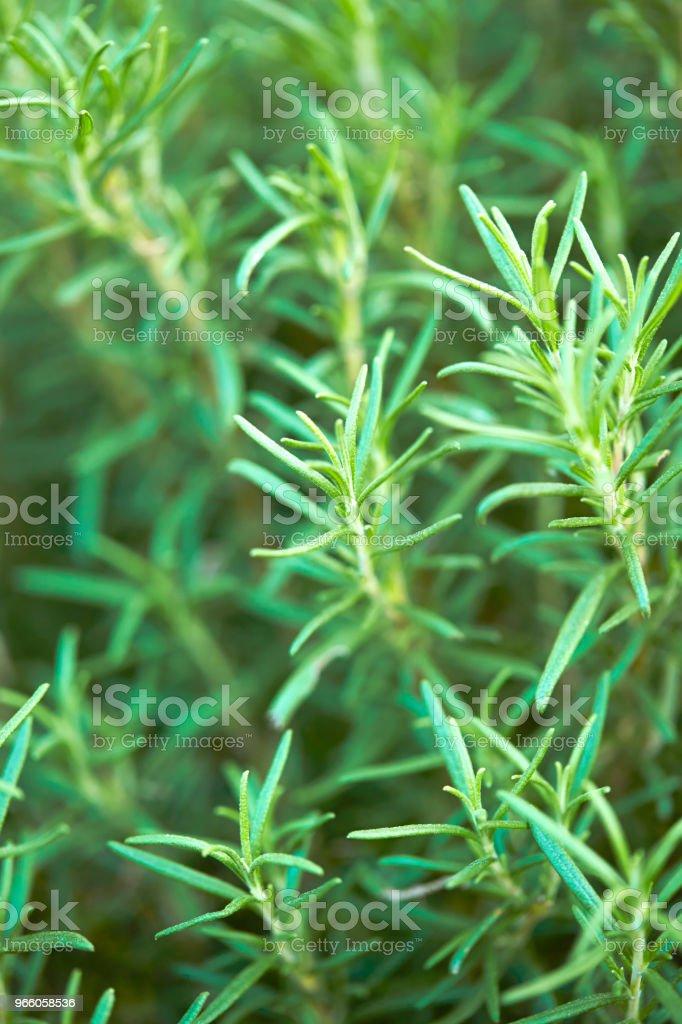 Rosmarin - Lizenzfrei Ast - Pflanzenbestandteil Stock-Foto