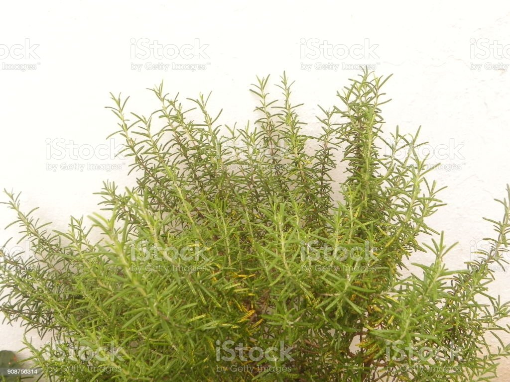 Rosemary Plant In A Garden Stock Photo - Download Image Now