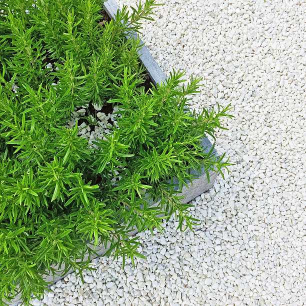 rosmarin-pflanzen auf weißem stein hintergrund - gartenkies stock-fotos und bilder