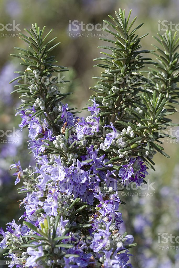Rosemary Plant With Flowers royalty-free stock photo