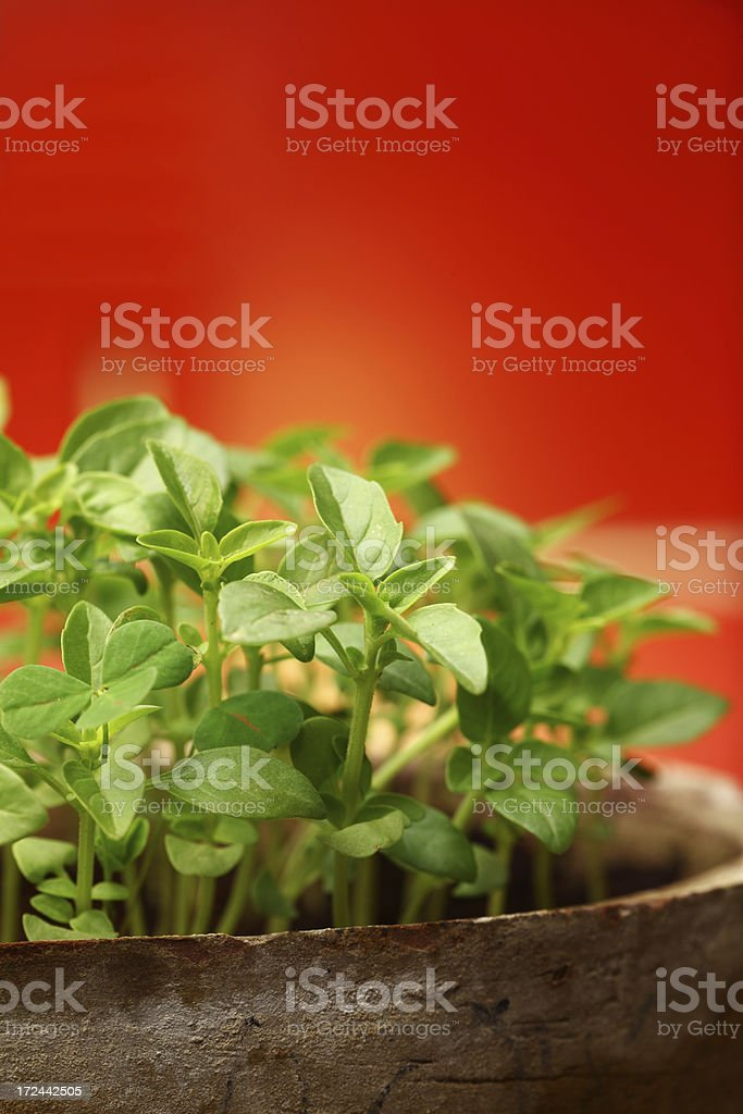 Rosemary Seedlings in Pot royalty-free stock photo