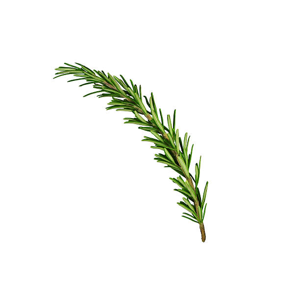 Rosemary sprig stock photo