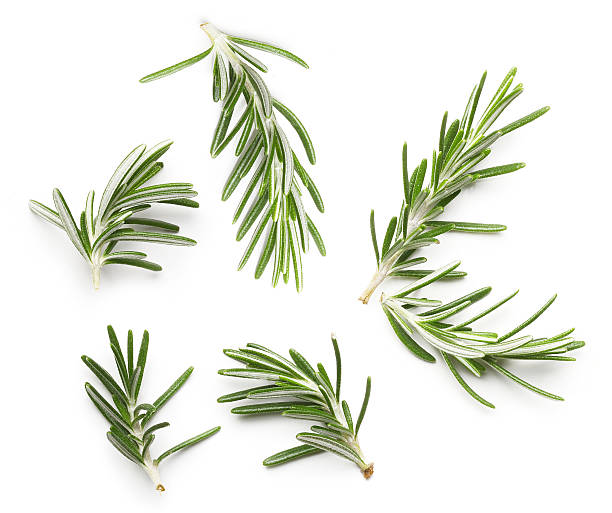 Rosemary twig stock photo