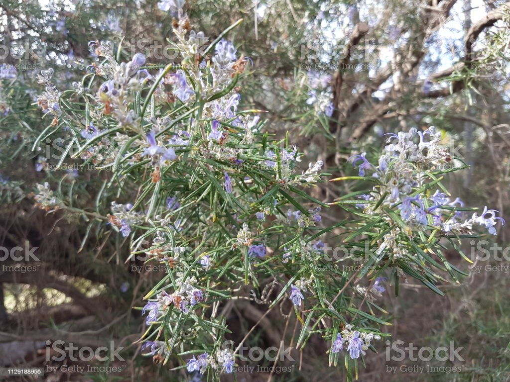 Rosemary with flowers 2 stock photo