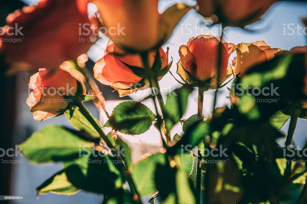 Roser i solen stock photo