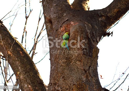 Low angle view of Rose-ringed parakeet about to enter a bird's nest.