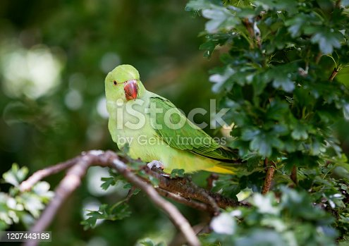 Rose-Ringed Parakeet in Hyde Park, London