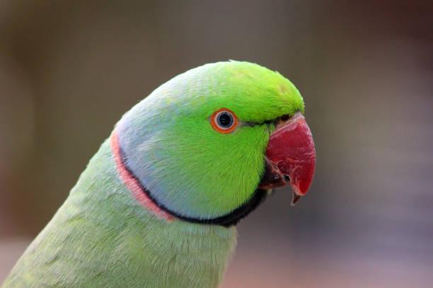 Rose-ringed parakeet, Psittacula krameri also known as Ring-necked Parakeet stock photo