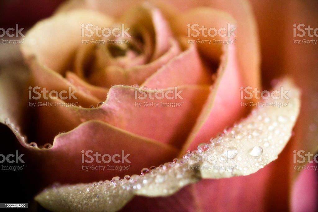 Roses 14 stock photo