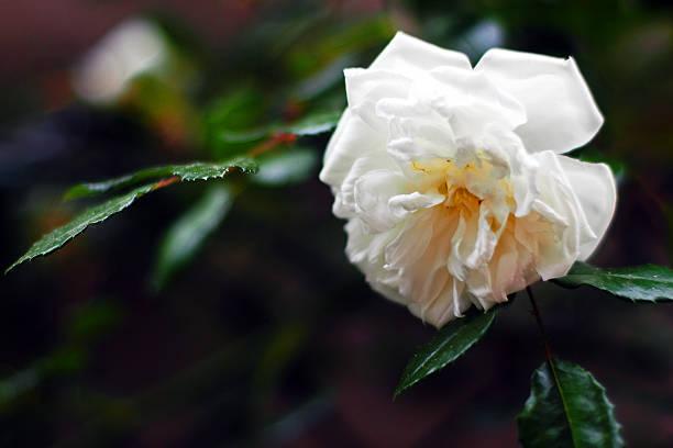 Roses alberic barbier picture id478987782?b=1&k=6&m=478987782&s=612x612&w=0&h=gadkftlc0yqvd8kfxo9afpft4tvzw rxusuhs0edzyu=