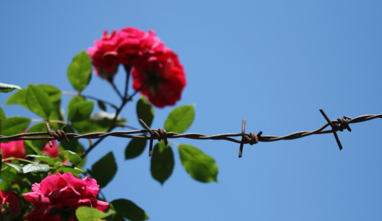Roses And Wire
