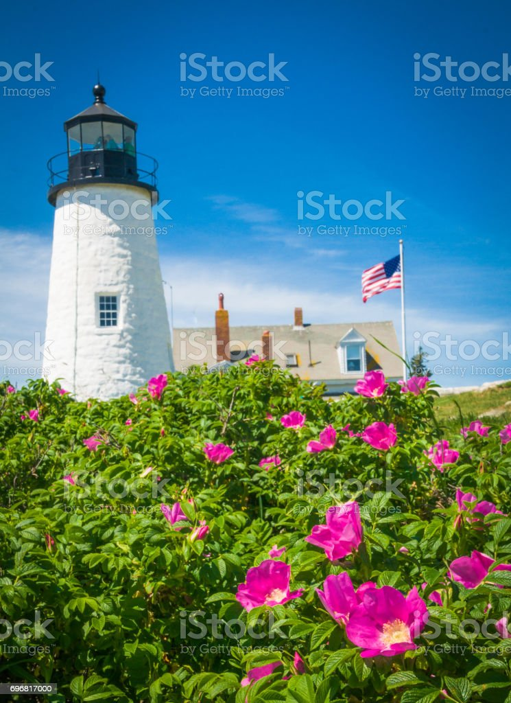 Roses at Pemaquid stock photo