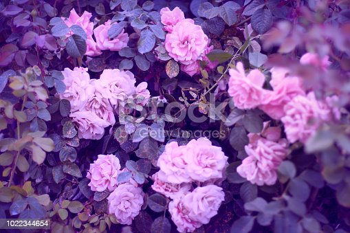Beautiful roses as a wallpaper