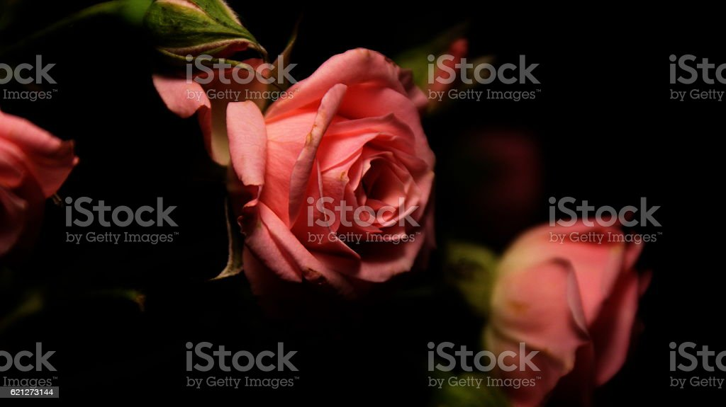 Roses - black and pink. stock photo