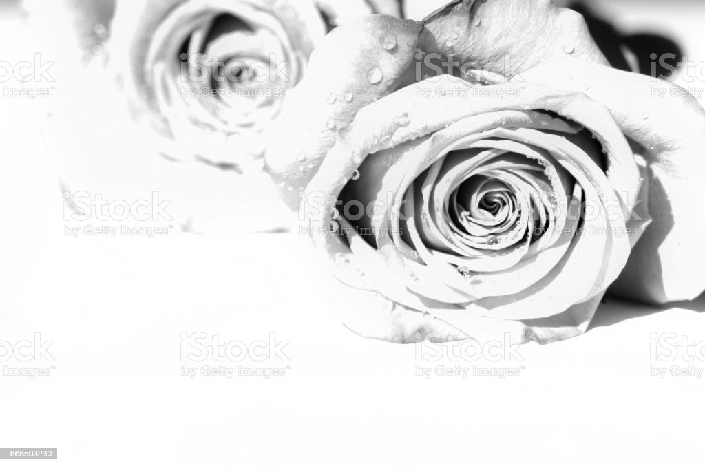Roses black and white. Copy space. stock photo