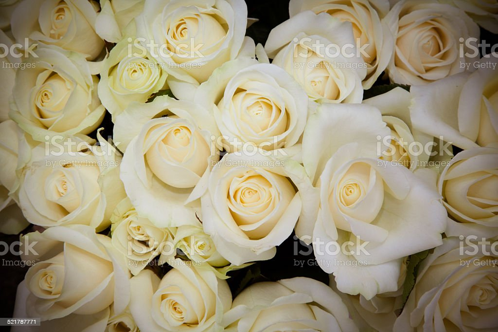 Roses blanches stock photo