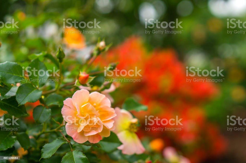Roses en fleurs au printemps photo libre de droits