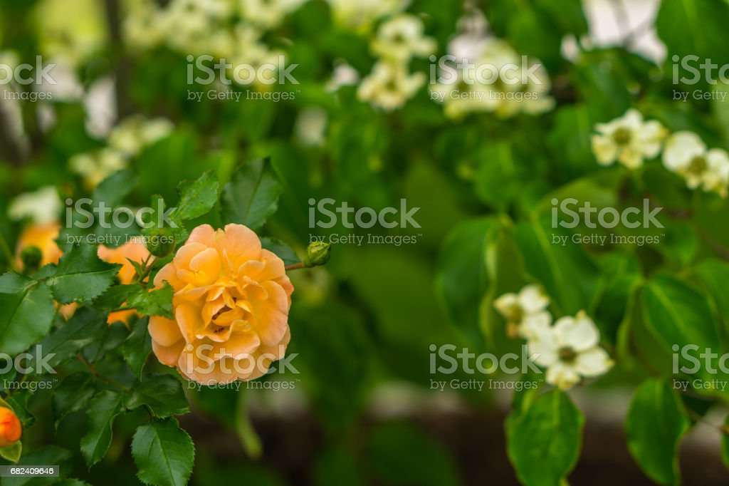 Roses Blooming in the Spring Time royalty-free stock photo