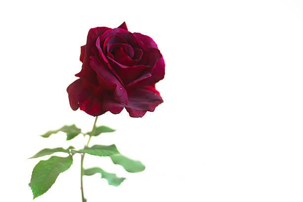 Roses closeup picture id180837742?b=1&k=6&m=180837742&s=612x612&w=0&h=vyxtfm8agycsvb qm1w6mpb9dlzfcbh6pk89hlzyg6m=