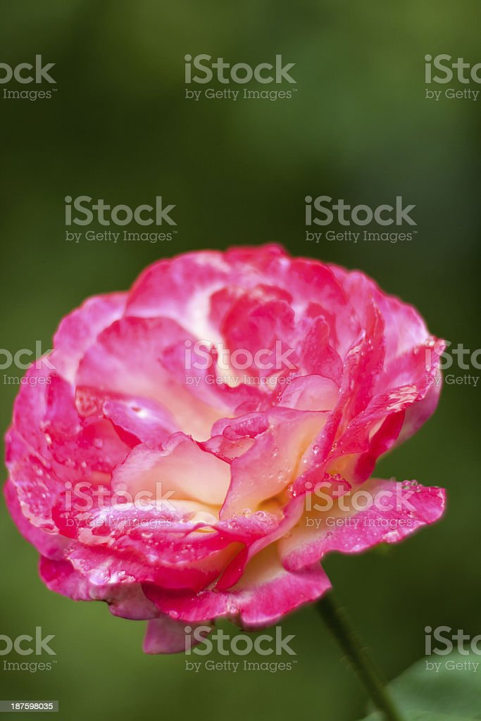Roses Close-UP royalty-free stock photo