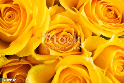 Fresh beautiful yellow roses isolated on white background with clipping path