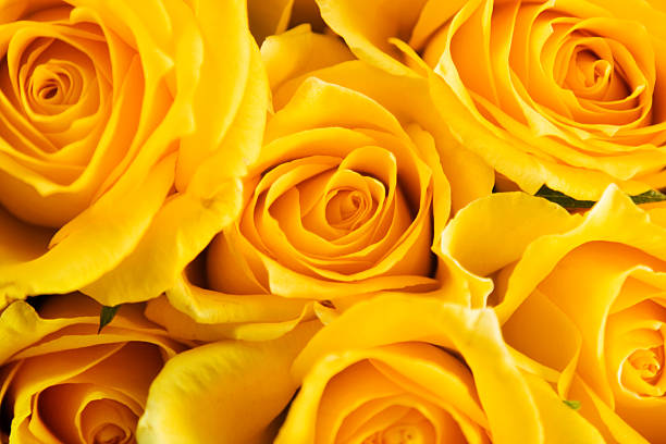 Roses for Mothers Day stock photo