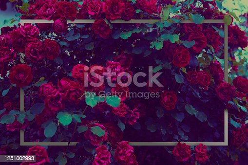 Red roses bush vintage processing and metal rectangle frame.