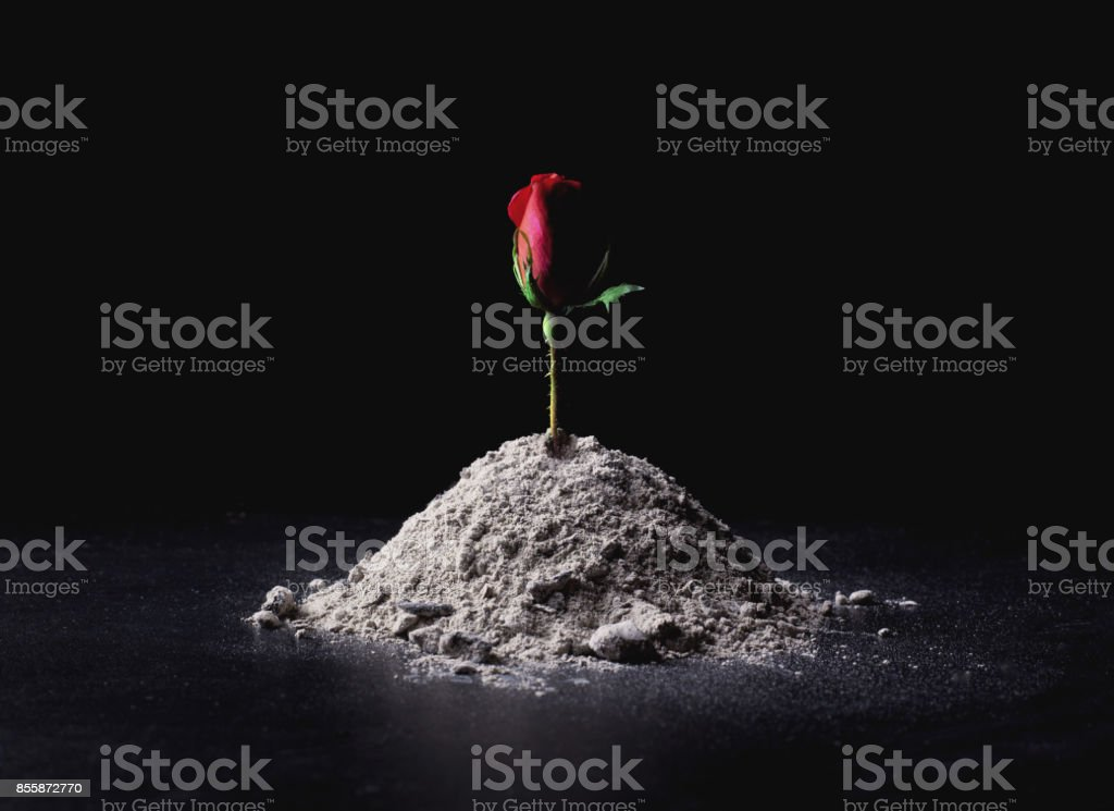 Roses from ashes stock photo