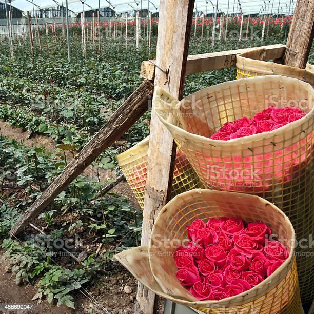 Roses harvest plantation in ecuador picture id488692047?b=1&k=6&m=488692047&s=612x612&h=xj87lgj5tdslgnil8ki1fq1qknqkzgsyv13invqmsge=
