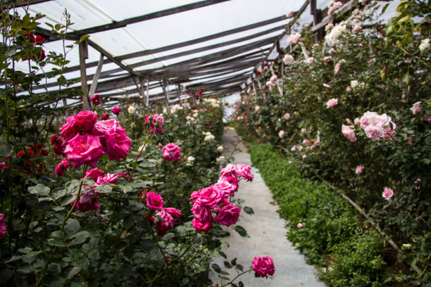 Roses in a flower farm picture id691722130?b=1&k=6&m=691722130&s=612x612&w=0&h=jiolpx2acyqt1yfgo2d7o5ki0d6pw8erdxm9bv8xufk=