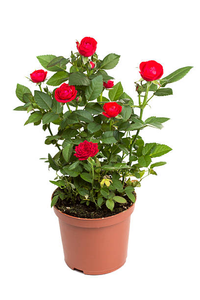 Roses in a flower pot stock photo
