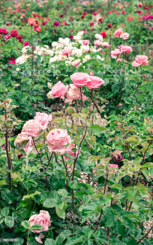 Roses in a garden. foto de stock royalty-free