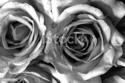 612015846 istock photo Roses in Black and White, background 1053850862
