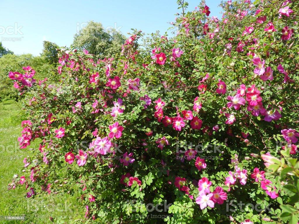 Rosen in verschiedenen Farben und verschiedenen Sorten