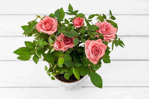 Roses in flowerpot stock photo