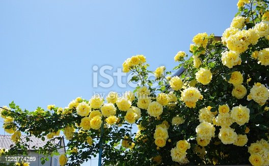 Aichi ,Japan – May 7 2020: Many beautiful yellow roses are in bloom. This is the entrance to a Japanese house. The noble yellow colors the house under the blue sky.