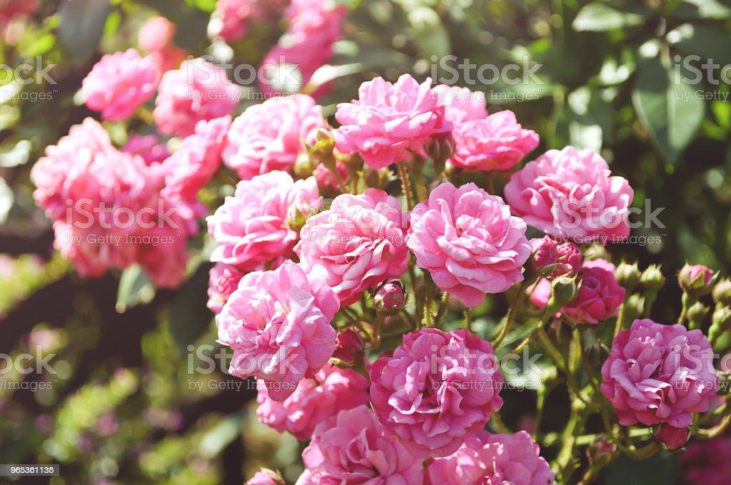 陽光明媚的花園裡的玫瑰花 - 免版稅光管圖庫照片