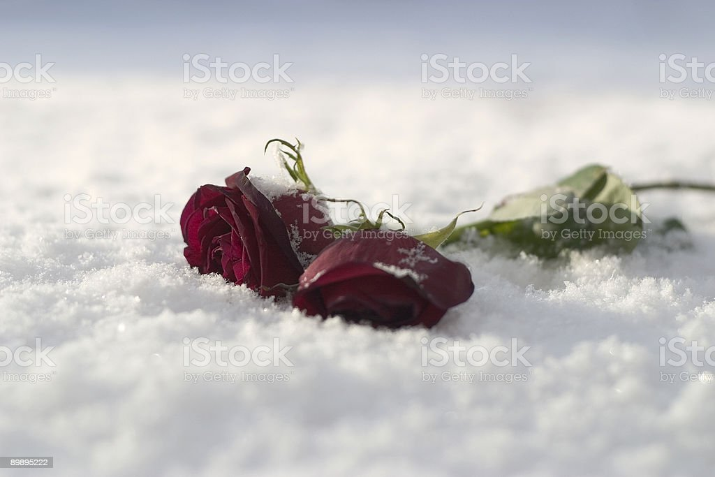 Roses in snow royalty-free stock photo