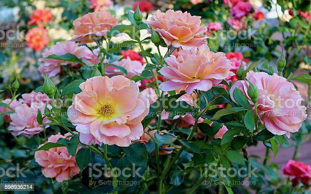 Roses in summer picture id598936214?b=1&k=6&m=598936214&s=612x612&h=bm3d6so7 99grx xrxotzlehhw nxayuhkwnfnqz7di=