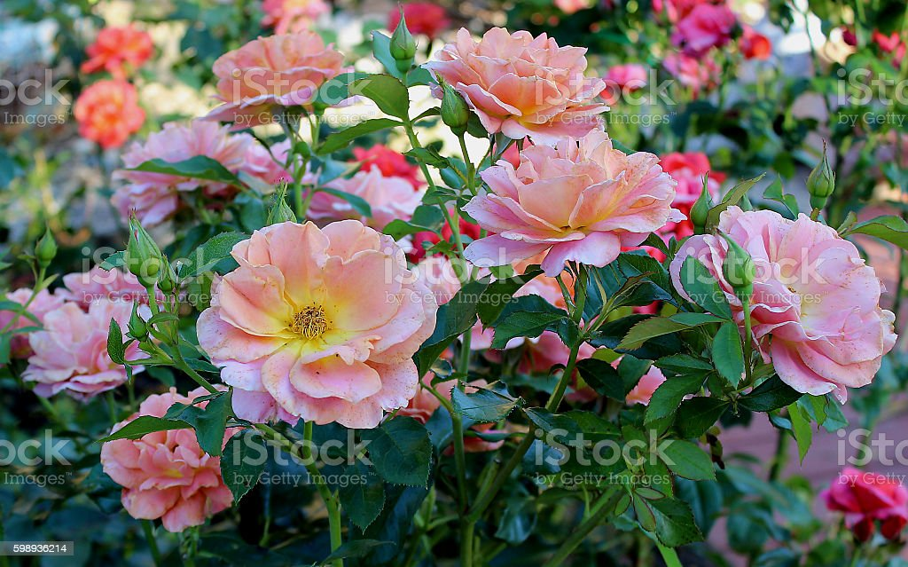 Roses In Summer stock photo