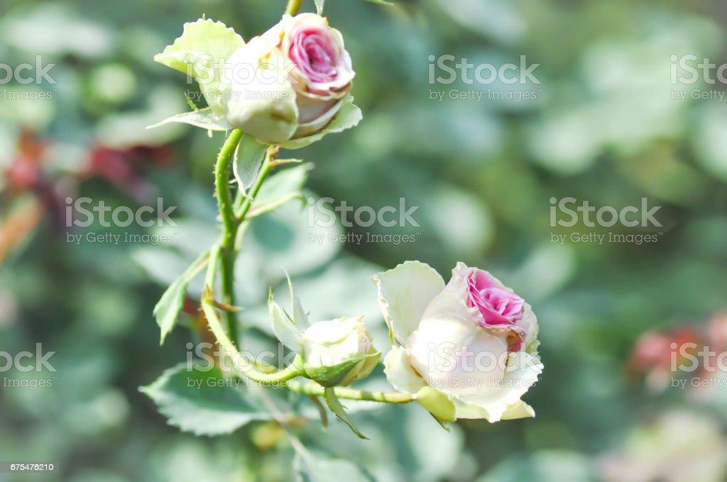 roses in the garden photo libre de droits