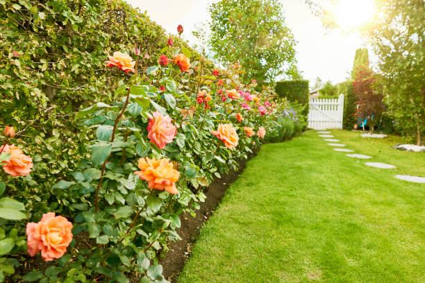 Roses in the garden picture id924870820?b=1&k=6&m=924870820&s=612x612&w=0&h=vecmzansizlmfbb1 gmn7h u6iiifdnyjey1ltwrqtg=