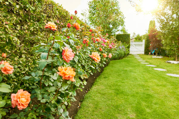 roses in the garden - formal garden stock photos and pictures